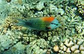 Multicolor Slingjaw Wrasse (male)