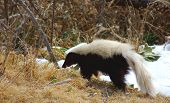 foto of skunk  - Shot of a skunk looking for a meal taken in New Mexico