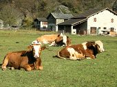 Swiss Cows And Bull  On Alpine Pastures