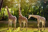 Giraffe In The Zoo. Keeping Wild Animals In Captivity poster