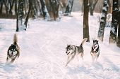 Three Funny Siberian Husky Dogs Running Together Outdoor In Snowy Park At Sunny Winter Day. Smiling  poster
