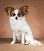 stock photo of epagneul  - Young dog of breed papillon on a beige background - JPG