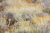 Helichrysum arenarium plants, shallow depth of field