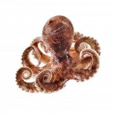 stock photo of octopus  - Small octopus isolated on white background - JPG