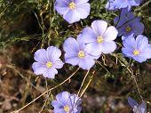 Western Blue Flax (Linum Perenne)