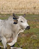 foto of bull riding  - Large mean Bull with lonag horns in a pasture - JPG