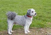 Bichon frise poodle cross