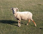 Portland sheep.  Very rare breed from Portland in Dorset, England.