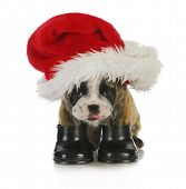 puppy santa - english bulldog dressed up with santa hat and boots on white background
