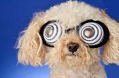 Hypnotic Dog