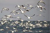 Flock Of Cape Gannets Taking Off