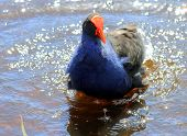 A Pukeko Splashing in a Pond