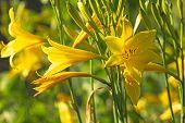 Lemon Daylily Flower