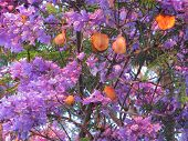 Blooming Jacaranda With Fruits