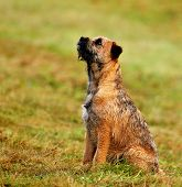stock photo of border terrier  - A Border Terrier sitting and watching his owner - JPG