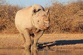Rhino, Black - Free and Wild Wildlife from Africa.  Power.
