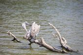 spot billed pelican on tree branch
