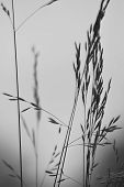 Grass black and white