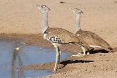 Kori Bustard - Wild Bird Background from Africa - Couple of Contrasts