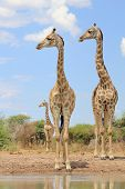 Giraffe Trio - Look left, look right.  Wildlife from Africa in the wild and free.
