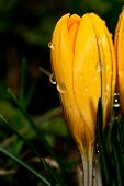 Yellow Crocus With A Drop Of Water