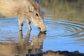 Warthog - Wildlife Background from Africa - Brilliant colors and blues of life