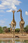 pic of gentle giant  - Three adult cow Giraffe visit a watering hole on a game ranch in Namibia, Africa.  One cow stares into the camera while the two others look to their right.