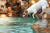 Jack Russell Terrier Swimming