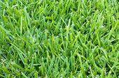 St Augustine Grass Backdrop