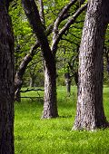 image of pecan tree  - pecan trees in the morning light of a texas spring day - JPG