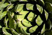 Closeup Shot Of Green Succulent Plant Agave