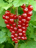 ripen redcurrant on the branch