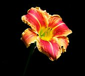 Asiatic Lily Red And Yellow Striped On Black Background