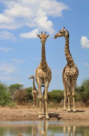 image of gentle giant  - Three adult cow Giraffe visit a watering hole on a game ranch in Namibia, Africa.  One cow stares into the camera while the two others look to their right. ** Note: Slight blurriness, best at smaller sizes - JPG