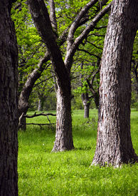 stock photo of pecan tree  - pecan trees in the morning light of a texas spring day - JPG