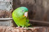 Little Green Lovebird