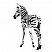 African animals 2 : vector baby zebra