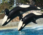 An orca duo backflip