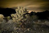 Jeolla Cactus