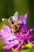 Постер, плакат: Медоносная пчела на Василька