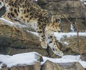 image of snow-leopard  - Close - JPG