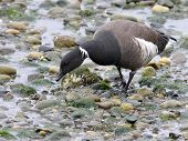 Brant Goose Feeding on the Beach