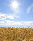 Sunny Oat Fields