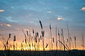 stock photo of cattail  - Sunrise over Horicon Marsh seen through the cattails - JPG