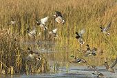 stock photo of duck-hunting  - A flock of Mallards taking flight from a wetland - JPG