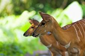 picture of antelope  - African Antelopes in the South African wilderness - JPG