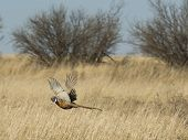 pic of pheasant  - A rooster pheasant escaping during a pheasant hunt - JPG