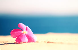 pic of sand lilies  - pink flower on the shore with the sea as background - JPG