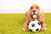 English cocker spaniel on carpet with ball in room
