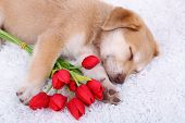 stock photo of golden retriever puppy  - Little cute Golden Retriever puppy with red tulips on white carpet - JPG